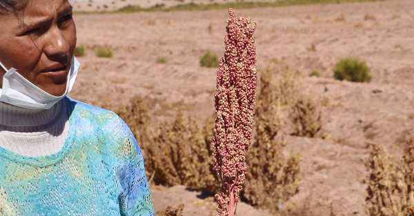 woman with quinoa plant