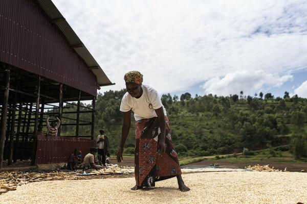 Woman drying maize